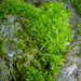 Soft-tufted Beard-Moss - Photo (c) Henry (Hank) Fabian, all rights reserved