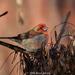 Haemorhous purpureus californicus - Photo (c) Brad Moon, todos los derechos reservados