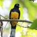 Black-headed Trogon - Photo (c) Rolando Chavez, all rights reserved