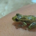 Campo Belo Snouted Tree Frog - Photo (c) Carlos Scocato, all rights reserved