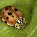 Cream-streaked Ladybird - Photo (c) Gustavo Masuzzo, all rights reserved