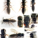Scelio - Photo (c) Edithvale-Australia Insects and Spiders, all rights reserved, uploaded by vuk