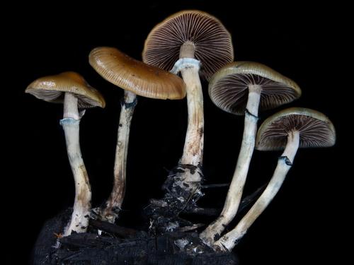 Genus Psilocybe · iNaturalist org