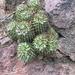 Mammillaria voburnensis collinsii - Photo (c) Horacio V. Barcenas, all rights reserved