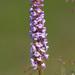 Gymnadenia conopsea - Photo (c) Fero Bednar, todos los derechos reservados