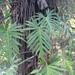 Philodendron radiatum - Photo (c) dennis_medina, כל הזכויות שמורות
