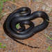 Southern Black Racer - Photo (c) Brad Moon, all rights reserved