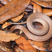 Smooth Earthsnake - Photo (c) Brad Moon, all rights reserved