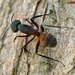 Blood-spotted Sugar Ant - Photo (c) Valter Jacinto, all rights reserved