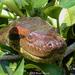 Green Anaconda - Photo (c) Brad Moon, all rights reserved