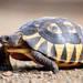 Angulate Tortoise - Photo (c) Bionerds, all rights reserved