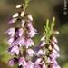 Calluna vulgaris - Photo (c) Valter Jacinto, όλα τα δικαιώματα διατηρούνται