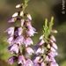 Common Heather - Photo (c) Valter Jacinto, all rights reserved