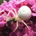 Milky Flower Spider - Photo (c) mustarrd, all rights reserved