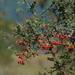 Pyracantha koidzumii - Photo (c) 林建融, kaikki oikeudet pidätetään