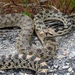 Great Basin Gopher Snake - Photo (c) rosalie-rick, all rights reserved