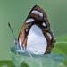 Dynamine theseus - Photo (c) Paul Prappas, todos os direitos reservados
