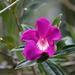 Meriania speciosa - Photo (c) David Foster, todos os direitos reservados