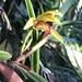 Maxillaria aciantha - Photo (c) dennis_medina, todos los derechos reservados