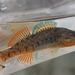 Rainbow Darter - Photo (c) Owen Ridgen, all rights reserved