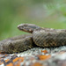 Crotalus aquilus - Photo (c) Matthieu Berroneau, όλα τα δικαιώματα διατηρούνται
