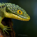 Lizards - Photo (c) Matthieu Berroneau, all rights reserved