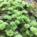 Ontario Rhodobryum Moss - Photo (c) Katy Barlow, all rights reserved