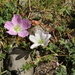 Geranium cinereum - Photo (c) Thomas Silberfeld, כל הזכויות שמורות