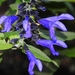 Anise-scented Sage - Photo (c) Marcos Silveira, all rights reserved