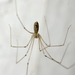 Long-bodied Cellar Spider - Photo (c) Kyle C. Elshoff (he/him), some rights reserved (CC BY-NC)