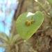 Acianthera - Photo (c) Adrian Fernandez Diaz, all rights reserved