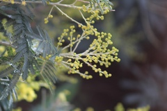 Acacia decurrens image