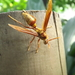 Executioner Paper Wasp (Bolivian) - Photo (c) Juan Diego, all rights reserved