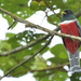 Collared Trogon - Photo (c) Oscar H. Marín, all rights reserved