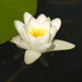 White Water-Lily - Photo (c) wojtest, all rights reserved