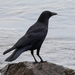 American Crow - Photo (c) BJ Stacey, all rights reserved