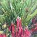 Amyema melaleucae - Photo (c) timhughes22, todos los derechos reservados