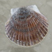 Atlantic Bay Scallop - Photo (c) Jay L. Keller, all rights reserved