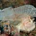 Leaf Scorpionfish - Photo (c) Shigeru Harazaki, all rights reserved