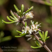 Olearia bullata - Photo (c) Danilo Hegg, todos los derechos reservados