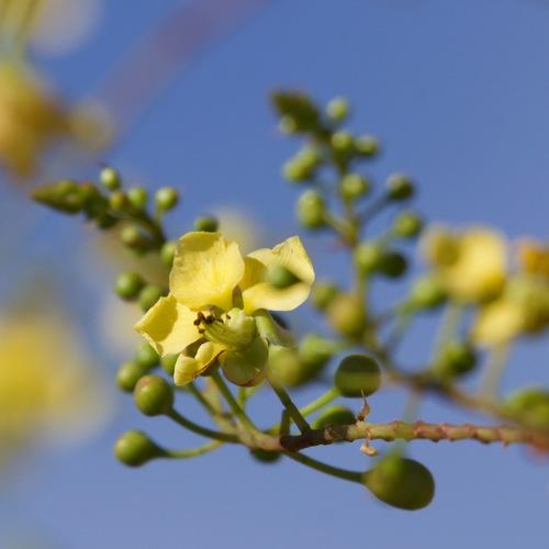 Palo Estaca (Caesalpinia pannosa) · NaturaLista