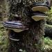 Fomitopsis ochracea - Photo (c) Alexis Murray, todos los derechos reservados