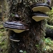 Fomitopsis ochracea - Photo (c) Alexis Murray, all rights reserved