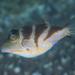 Canthigaster axiologus - Photo (c) Shigeru Harazaki, todos los derechos reservados
