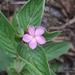 Sipanea hispida - Photo (c) Laurent Quéno, todos los derechos reservados