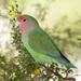 Rosy-faced Lovebird - Photo (c) Owen Ridgen, all rights reserved