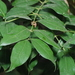 Cinnamomum osmophloeum - Photo (c) 小雨滴, all rights reserved
