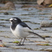 Japanese Wagtail - Photo (c) annxeneize, all rights reserved