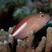 Arc-eye Hawkfish - Photo (c) Shigeru Harazaki, all rights reserved