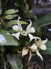 Prosthechea fragrans image